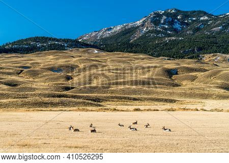 A Herd Of Pronghorn Deer Rest In The Open Plains Of Wyoning Yellowstone National Park. Mountain And