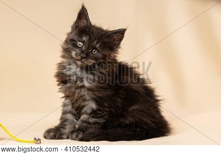 A Kitten Is A Maine Coon. Cute Maine Coon Cat On Beige Background. A Funny Little Purebred Cat, Gray