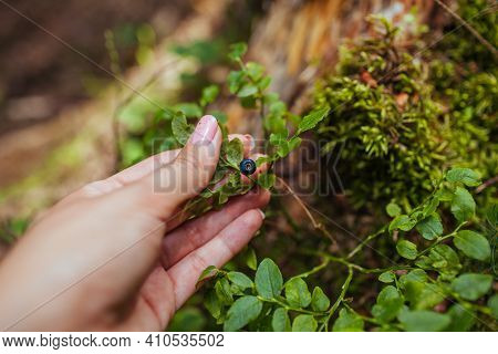 Woman Picking Wild Bilberries Or Blueberries In Summer Forest. Close Up Of Tiny Fruit Growing On Pla