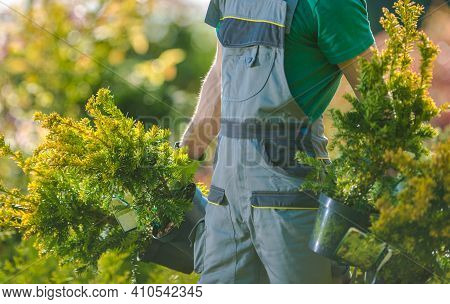 Spring Time Plants Planting. Caucasian Gardener With Two Decorative Trees In His Hands. Gardening An