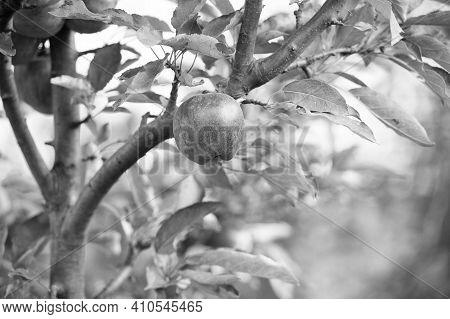 Harvest Is Ripe. Apple Garden On Natural Landscape. Apple Tree Grow In Fruit Garden. Orchard Crops.