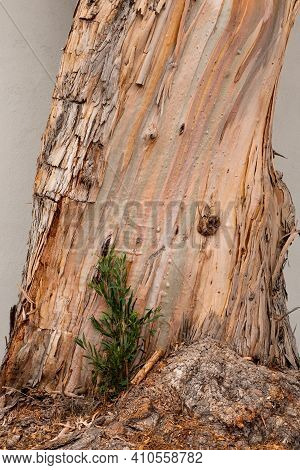 A New Growth At The Base Of An Eucalyptus Tree, Viewed From The Side, Illustrating The Business Conc