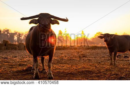 Swamp Buffalo At A Harvested Rice Field In Thailand. Buffalo Mother And Son Stand At Rice Farm In Th