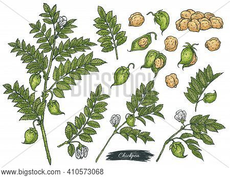 Set Of Hand Drawn Chickpea Plant, Pods And Peas, Vector Illustration Isolated.