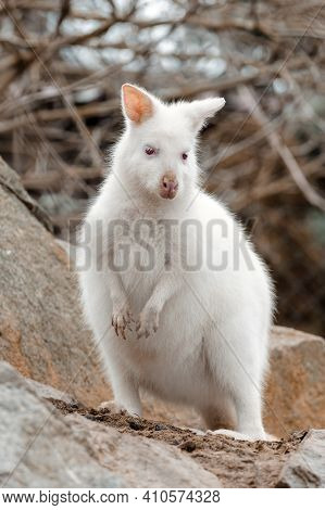Red-necked Wallaby With Very Rare White Albino Color, Female, Kangaroo (macropus Rufogriseus)