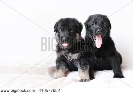 Two Germany Sheepdog Puppys Sleepy Yawn On White Background