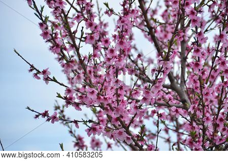 Tree With Pink Flowers . Cherry Blossoms In Early Spring . Blooming Branch Of Cherry Tree. Beautiful