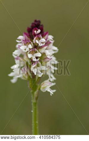 Beautiful White And Purple Inflorescence Of The Burnt Orchid, Neotinea Ustulata Blooming In Swedish
