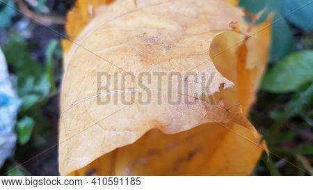 Rolled Up Dried Autumn Maple Leaf Close Up