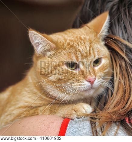 Large Ginger Affectionate Cat On The Shoulder