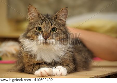 Beautiful Brown Fluffy Norwegian Forest Cat Close Up