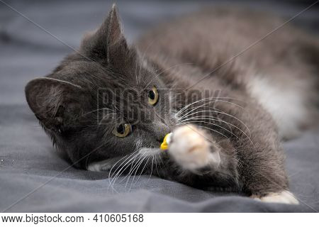 Beautiful Gray With A White Breast Cat With A Catheter On Its Paw