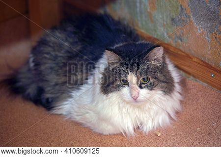 Fluffy Brown And White Fluffy Cat Lies On The Floor