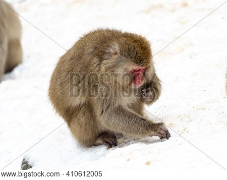 A Japanese Macaque, Macaca Fuscata, Foraging For Food Scattered By Staff At Jigokudani Monkey Park I