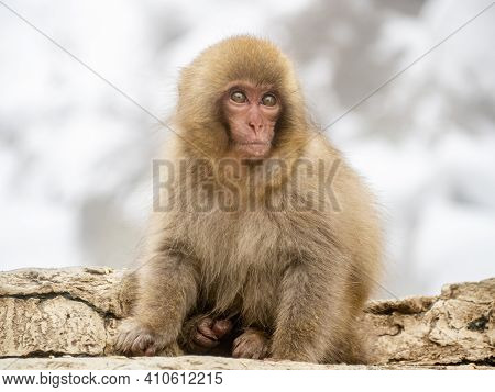 A Young Japanese Macaque Or Snow Monkey, Macaca Fuscata, Sits On The Rocks Beside The Hot Springs In