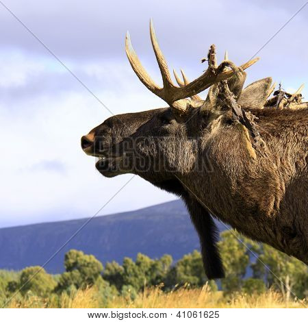 European Elk bull sniffing the air