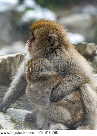 A Mother And Child Japanese Macaque Or Snow Monkey, Macaca Fuscata, Sits On The Rocks Beside The Hot
