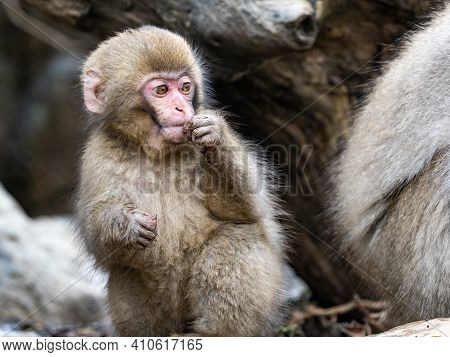 A Young Japanese Macaque Or Snow Monkey, Macaca Fuscata, Plays On The Shore Near The Yokoyu River In