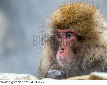 A Japanese Macaque Or Snow Monkey, Macaca Fuscata, Sits In The Hot Springs In Jigokudani Monkey Park