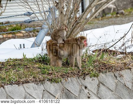 Mother And Child Japanese Macaques Or Snow Monkeys, Macaca Fuscata, Walk Beside The Yokoyu River Fen