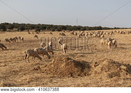 Sheep Grazing In A Dry Cereal Field