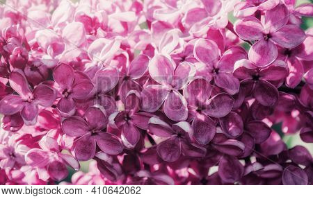 Flower background.Spring flower landscape. Lilac flowers, spring flower garden with blooming lilac flowers, flowers in bloom, spring lilac flowers, flowers blossoming, flower garden in spring, flowers under sunshine, pink lilac flowers, flower background