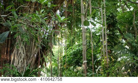 Fern Birds Nest On Banyan. Bright Fern Birds Nest With Big Green Leaves Growing Up On Banyan. Variou