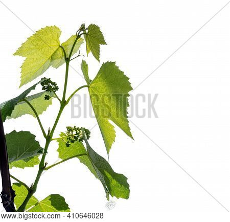 The Texture Of A Young Grape Vine With Grapes Ovary Isolated On A White Background.