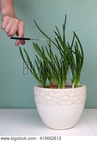 Fresh Green Chives In Ceramic Pot. Home Garden On Sill. Home-grown Natural Remedy For Immunity-boost