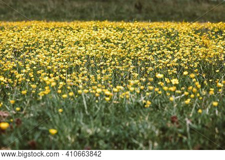 Beautiful Yellow Buttercups. A Field Of Yellow Buttercups During Spring.
