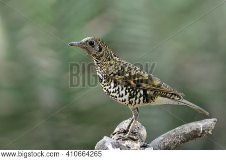 Magnificent Tiger Stripe Bird Perching On Top Of Wooden Spot Expose Over Green Leafs In Natural Habi