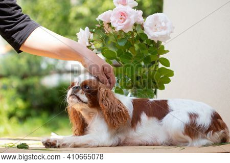 The White-red-colored Dog Breed Cavalier King Charles Spaniel Is A Stroking Hand Of Man, Against A B