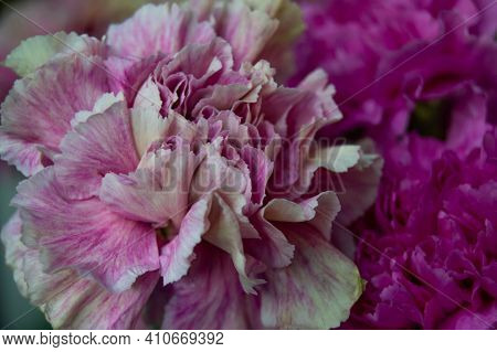 Close-up Of A Pink And White Carnation Next To A Pink Carnation