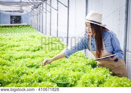 Beautiful Asian Woman Do Agriculture, Grow Salad Vegetables In Greenhouses With Hydroponic Systems.