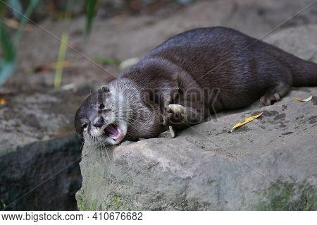 Asian Small-clawed Otter In The Nature Habitat. Otter In Zoo During The Lunch Time. Wild Scene With