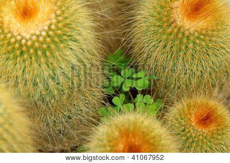 Shamrock between cactus