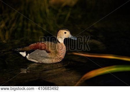 Male Ringed Teal Wild Duck Swims On The Pond. Photography Of Wildlife.