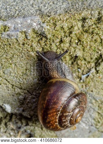 Grove Brown-lipped Land Snail With Blue Grey Body Crawle On Rough Rugged Concrete Wall