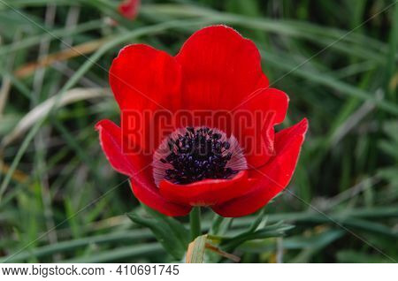 The Anemone Flower Belongs To The Buttercup Family And Is A Perennial Herb Growing On Plains And Mou