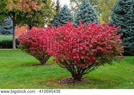 Winged Eonymus, Euonymus Alatus In The Autumn Park. Scarlet Ornamental Shrub In The Garden. Autumn C