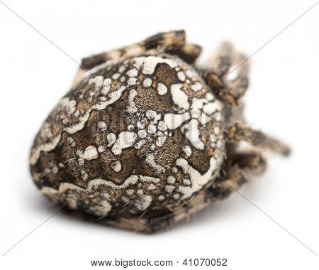 Rear view of an European garden spider, Araneus diadematus, curled up against white background