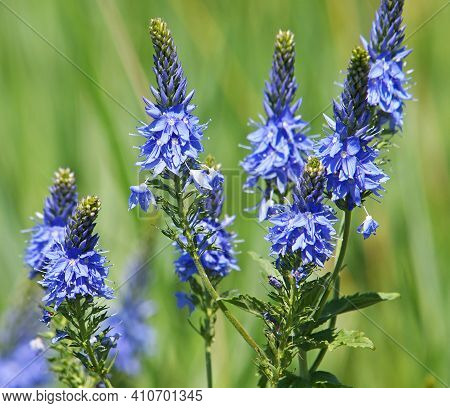 Blue Flowers Of Prostrate Speedwell, Veronica Prostrate