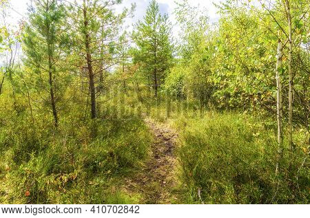 Swamp Landscape Road, Isthmus Of Pine, Cranberry And Other Swamp Plants On In Summer Sunny Weather.