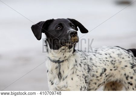 Face Portrait Of A Spotted Mixed Dog Puppy With Sand In Her Snout