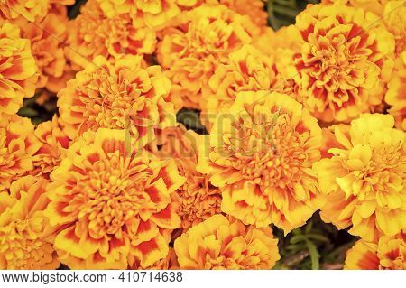 Bring The Color Of Sunshine To Your Garden. Flower Garden And Gardening. Marigold Tagetes Background