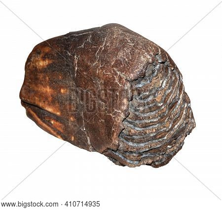 Woolly Mammoth Tooth Isolated On White Background