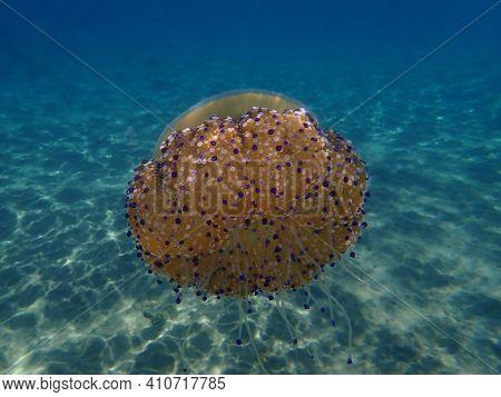 Mediterranean Jellyfish, Mediterranean Jelly Or Fried Egg Jellyfish (cotylorhiza Tuberculata) Unders
