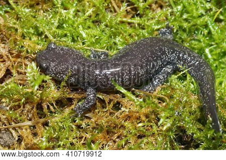 Closeup Of A Juvenile Speckled Rare Japanese Streamtype Salamander, Hynobius Hirosei On Green Moss