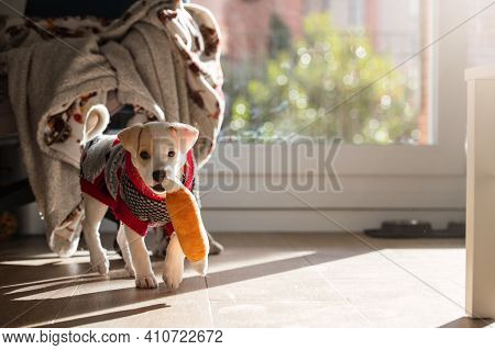 Cute Portrait Of A Young Female Mixed Dog Puppy Wearing A Sweater And Playing With A Toy At Home