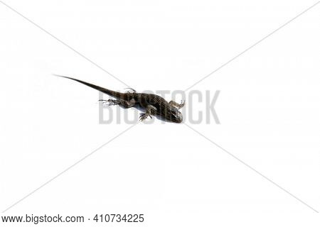 California Fence Lizard aka Alligator Lizard isolated on white. Room for text. Lizards are very important animals, they eat bugs and live in gardens and garages.